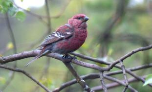 Klein-Pine-Grosbeak-male-2016-1