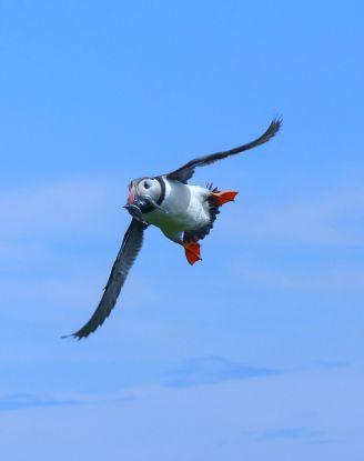 Klein-Puffin-flying-fish-towards