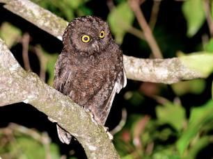 Anjuoan-Scops-Owl