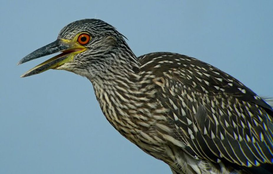 Immature-Night-Heron