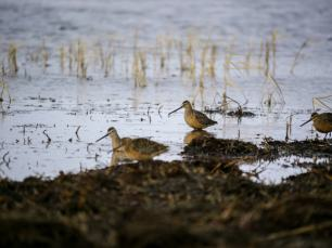 Long-billed-dowitchers-Martin-McGill-WWT-1025x769