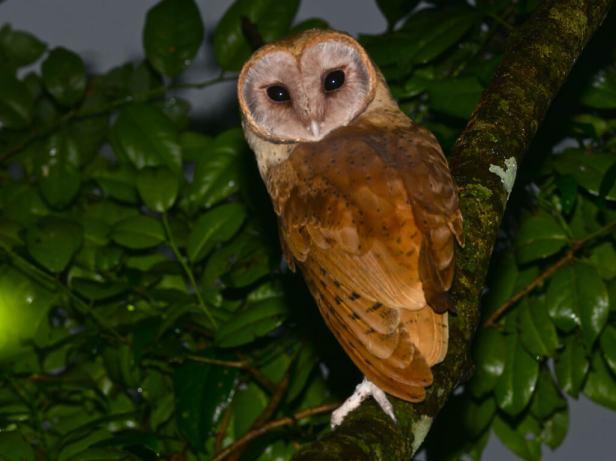 Madagascar-Red-Owl-2