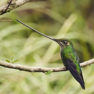 Sword-billed-Hummer-2-colombia-1025x1025
