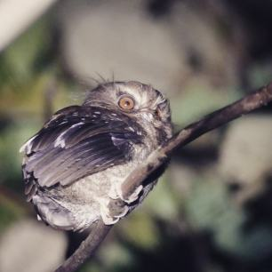 Whiskered-Owlet-Peru-1025x1025
