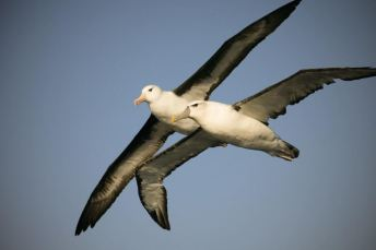 White-capped-Black-browed-Albatross-1025x683
