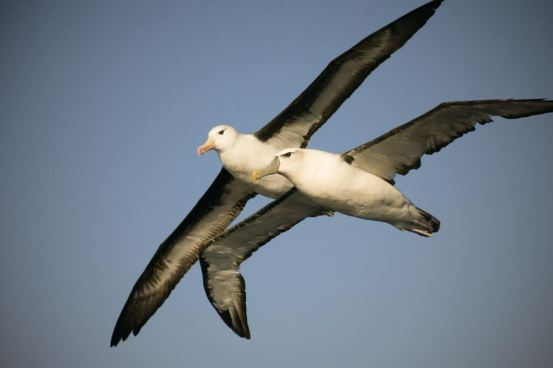 White-capped-Black-browed-Albatross-1025x683