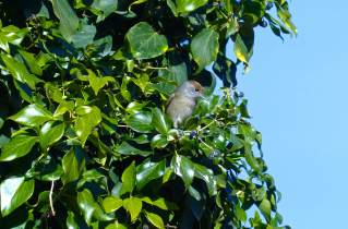 Blackcap-(David-Lindo)