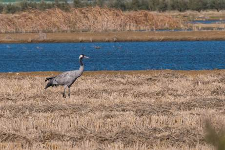 Common-Crane-(David-Lindo)