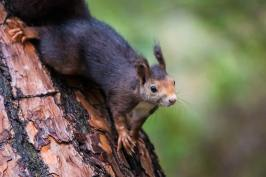 Red-Squirrel-(David-Lindo)