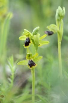 AP6I7165-Ophrys-blitopertha-edit-klein