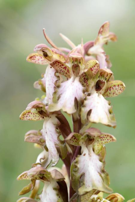 AP6I7347-Himantoglossum-robertianum-edit-klein