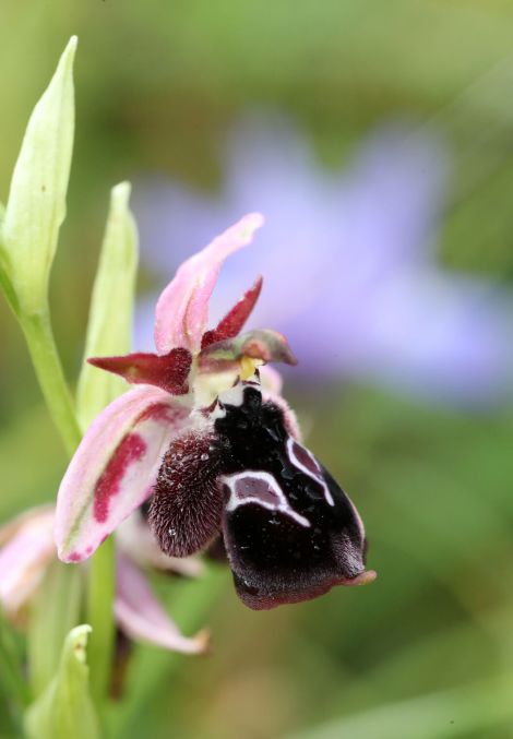 AP6I7412-Ophrys-rheinholdii-edit-tweetsize-klein