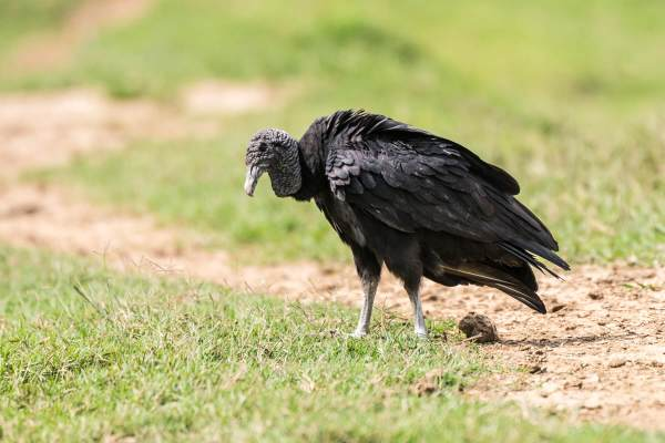 American-Black-Vulture-(David-Lindo)