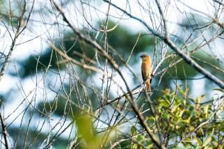 Chestnut-crowned-Becard-(David-Lindo)-klein
