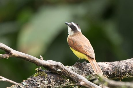 Great-Kiskadee-(David-Lindo)-klein