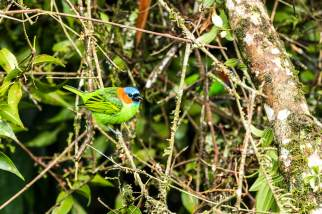 Red-necked-Tanager-(David-Lindo)