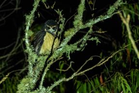 Tawny-browed-Owl-(David-Lindo)