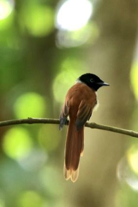 Seychelles-paradise-flycatcher-female_620x930
