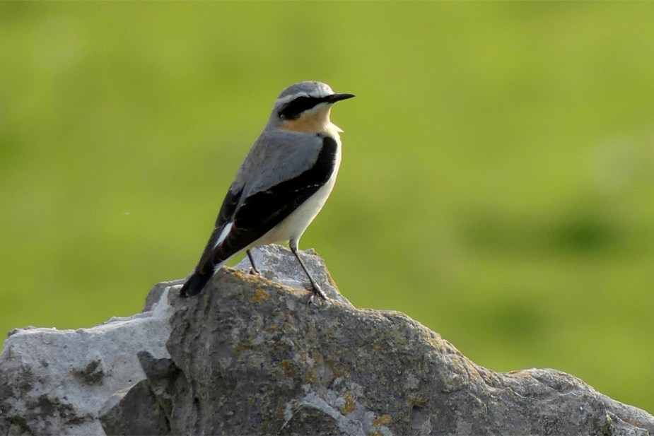 Wheatear-male-April-2020-3