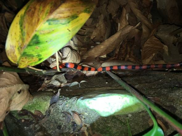 41-Coral-Snake-1025x769