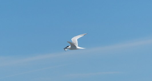Sandwich-Tern-3-fish-1