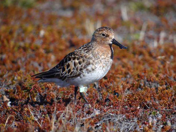 11-Spoon-billed-sandpiper-'Green-8'-returns-to-her-birthplace-to-breed-c-Pavel-Tomkovich-and-Egor-Loktionov