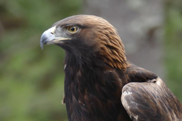 Golden-Eagle-Wind-Over-Wings3-Jeff-Bouton-1025x683
