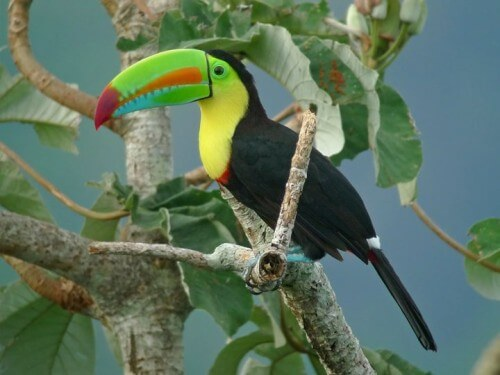 Keel-billed-Toucan-500x375
