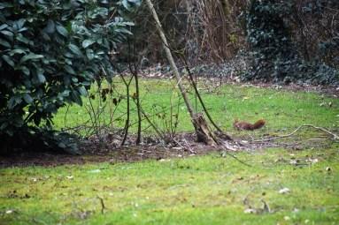 eekhoorn (1)