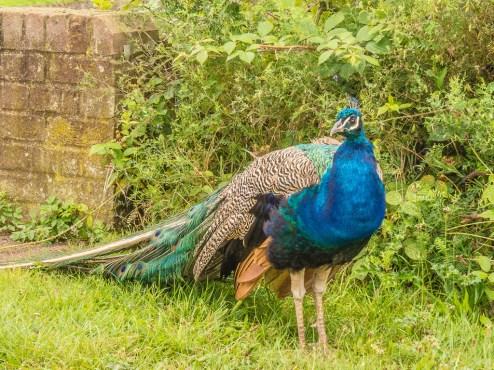 12peacock