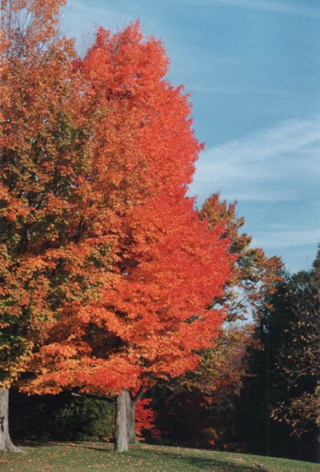 dlcanadianmapletree