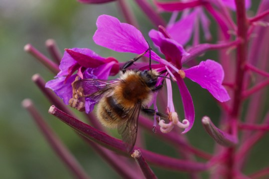 Brown Banded Carder Bee
