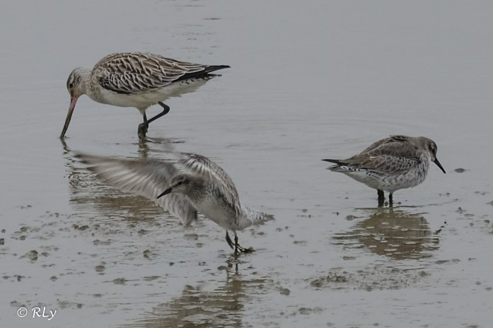 Black-tailed godwit and knot