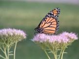 Monarch? butterfly