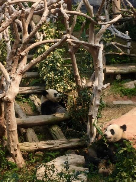 Panda enclosure Seac Pai Van Park Coloane Island Macau