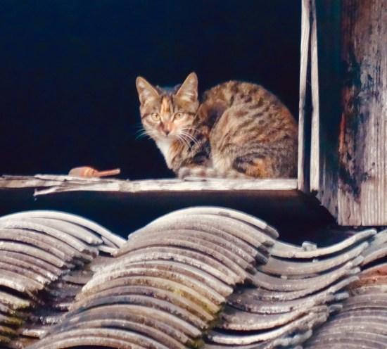 Farmyard cat Xu Ao Di Village Taishun County China.