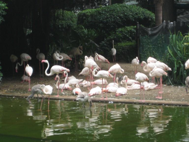 A flock of flamingos at Kowloon Park. (Photo: Ana Ribeiro)