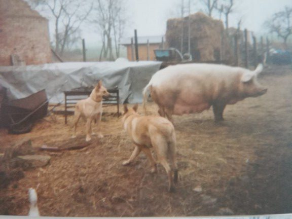 Farm animals, East Germany