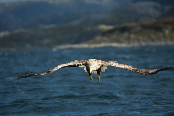 "A white-tailed eagle focusing on its ""prey"""