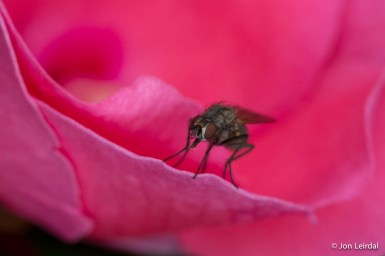 Pink fly