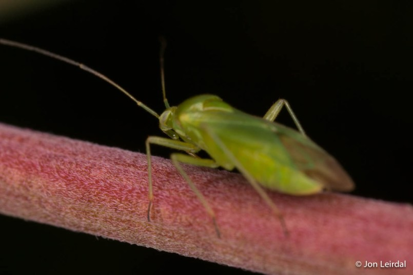 Green insects