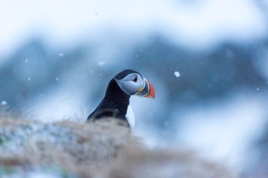 Puffin in the snow