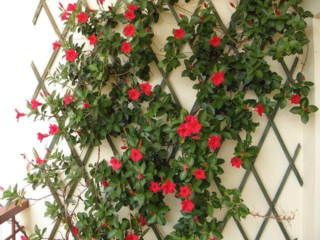 plante grimpante rosier clematite