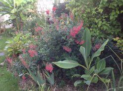 Fuchsia du Cap et muselle, jardin exotique, le jardin d'épices