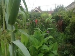 cannas rustiques, arundo, le jardin d'épices Laurent Lafaille