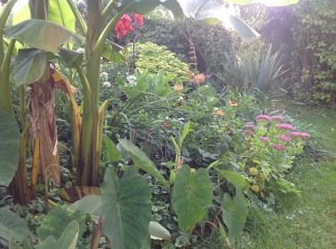 colocasia Pink china, bananier le jardin d'épices Laurent Lafaille