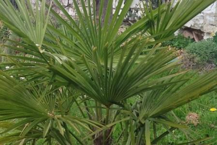 Palmiers rustiques