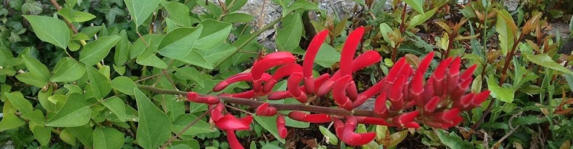 Erythrine en fleur