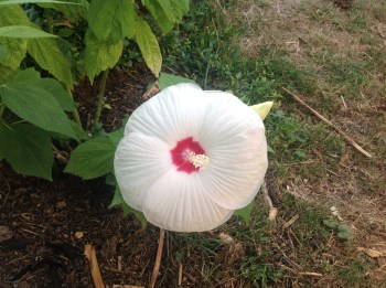 Hibiscus rustique blanc, jardin exotique et fleuri le jardin d'épices