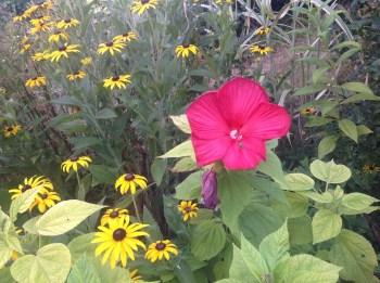 Hibiscus rustique, jardin exotique et fleuri le jardin d'épices
